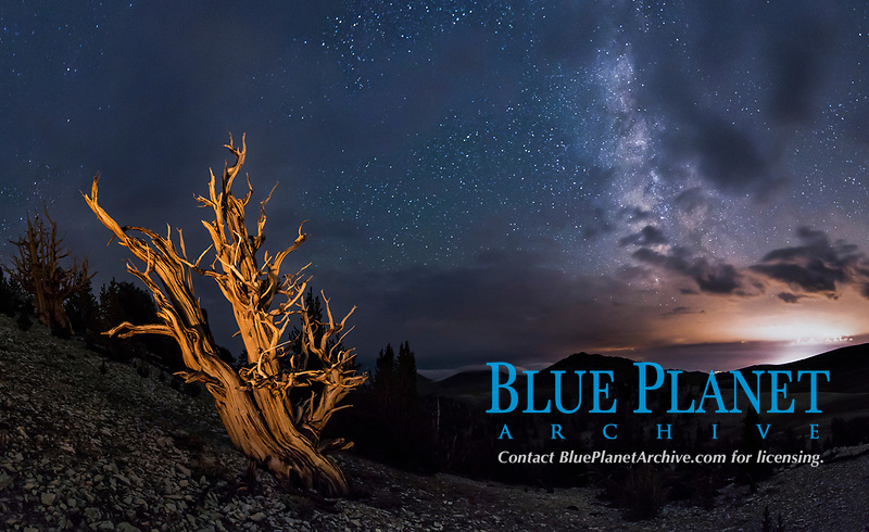 Ancient Bristlecone Pine Tree at night, stars and the Milky Way galaxy visible in the evening sky, near Patriarch Grove.