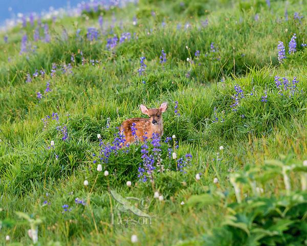 Columbian black-tailed deer (Odocoileus hemionus columbianus) fawn in subalpine meadow surrounded by lupine and bistort wildflowers.  Pacific Northwest.  Summer.