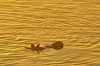 Sea Otter (Enhydra lutris). Sunrise.  California.