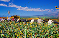 Pineapple workers harvest pineapples in Maui's Central Valley.