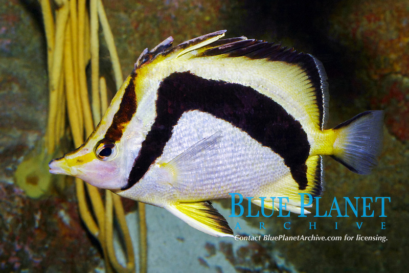 northern scythemarked butterflyfish or northern scythe butterflyfish, Prognathodes falcifer (c)