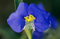 Erect Dayflower, Commelina erecta,blossom, Welder Wildlife Refuge, Sinton, Texas, USA, May 2005