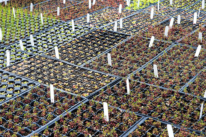 Perennial plants being grown in a wholesale greenhouse.