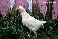 DG13-014z  Chicken - immature White Leghorn
