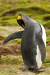 A king penguin preens on Stromness, South Georgia.