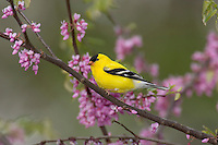 Male American Goldfinch (Carduelis tristis) in redbud tree. Great Lakes Region. Sprng.