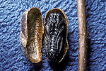 Large sawfly pupa in hard coccoon case.  Approaching maturity