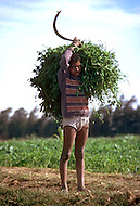 Child is emplyed in agriculture in Egypt - Child labor as seen around the world between 1979 and 1980 - Photographer Jean Pierre Laffont, touched by the suffering of child workers, chronicled their plight in 12 countries over the course of one year.  Laffont was awarded The World Press Award and Madeline Ross Award among many others for his work.