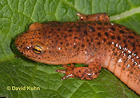 0610-0802  Northern Red Salamander, Pseudotriton ruber ruber  © David Kuhn/Dwight Kuhn Photography