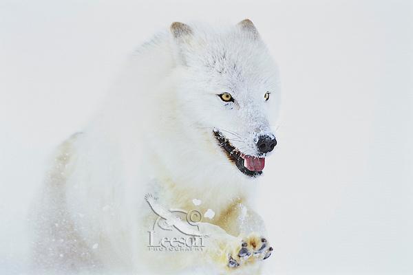 Arctic Wolf (Canis lupus arctos) running through snow.