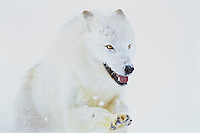 Arctic Wolf (Canis lupus arctos) running through snow.