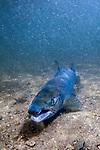 Landlock Atlantic Salmon male laying on sand bottom facing camera in Lake Sunapee, New Hampshire, vertical