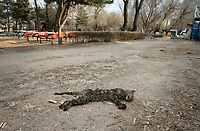China. Jilin Province. A dead cats body lies in a park in the town of Yanji, close to the border with North Korea. The town is part of the Korean Autonomous Prefecture in the north-east of the country. 2011
