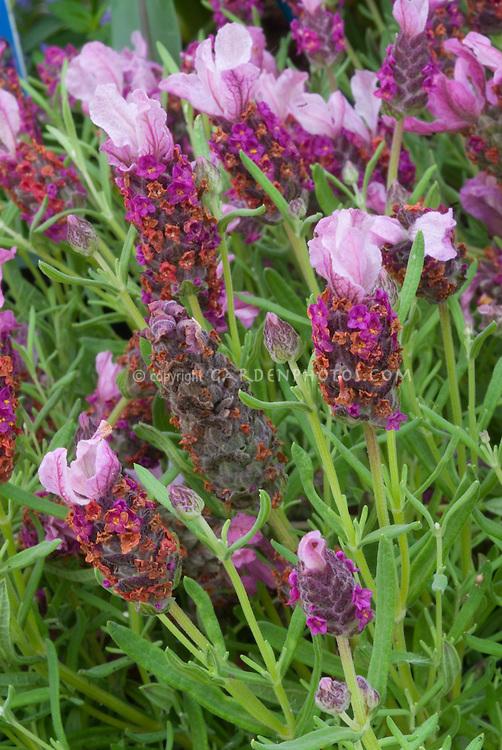 Lavandula stoechas 'Little Bee Pink = 'Florvendula Pink' (Little Bee series)' Spanish Lavender