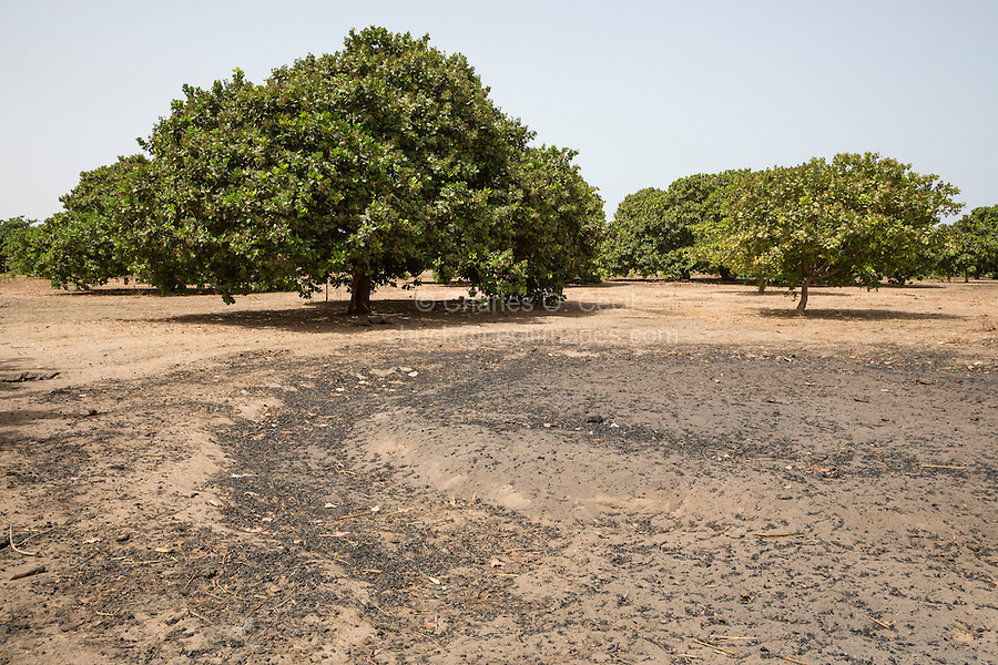 Cashew Nut Trees, near Sokone, Senegal. The  field is well-tended, with no brush or low-lying branches under the trees.  The foreground shows where one tree was cut down for charcoal.