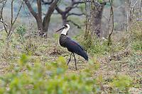 Wooly-necked Stork, Hluhluwe-Umfolozi NP, SA