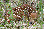 White-tailed deer (Odocoileus virginianus) fawn hiding in the tall grass