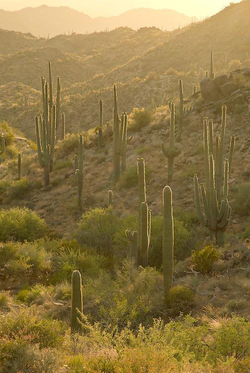 Blooming saguaro cactus (Cereus giganteus) and littleleaf paloverde (Cercidium microphyllum) in the Sonoran Desert near Four Peaks