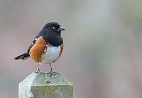 Spotted towhees and other songbirds are a common sight at Reifel Bird Sanctuary.