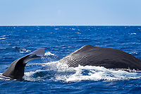 sperm whale, or cachalot, Physeter macrocephalus, surfacing showing tail and dorsal fin, Dominica, Caribbean Sea, Atlantic Ocean, permit n°RP 13/365 W-03