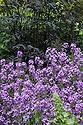 Sweet rocket (Hesperis matronalis), early June.