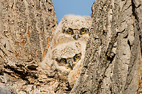 Two Young Great Horned Owlets (Bubo virginianus) keep watch from the crotch of a tree.  Oregon, spring.
