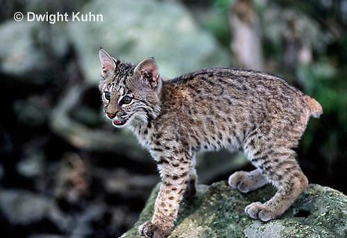 MA15-026x  Bobcat - Felis rufus