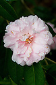 Camellia x williamsii 'Exaltation', mid March.