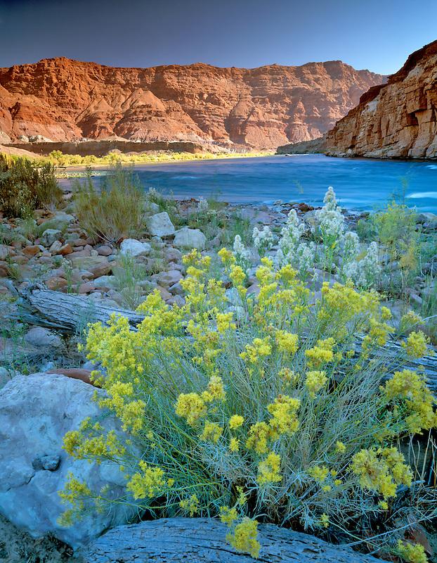 Rabittbrush and Colorado River. Near Lee's Ferry. Arizona
