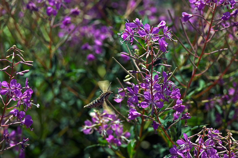 Sphinxter moth on fireweed. Klamath Marsh National Wildlife Refuge, Oregon