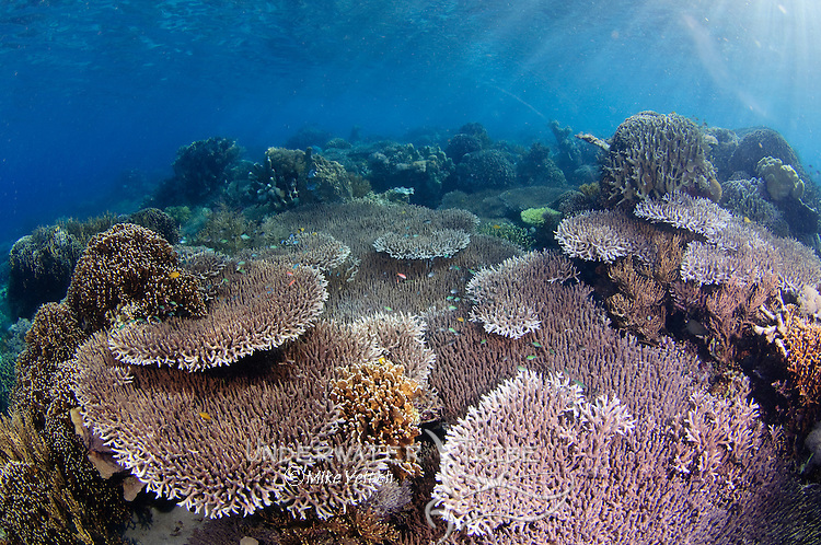Hard coral garden with a variety of table, leather, and staghorn corals, Acropora sp., Porites sp., Litophyton sp., sarcophyton sp., Komodo National Park, Komodo Island, Nusa Tenngara, Indonesia, Pacific Ocean