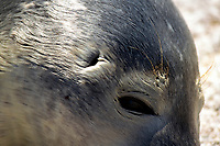 Harbor seal, Phoca vitulina, showing ear opening behind the eye typical of 'true' seals. Bar Harbor region, Maine, USA
