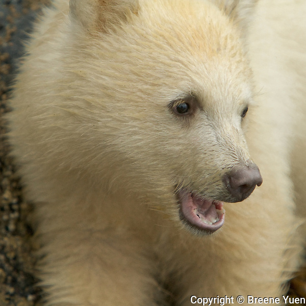 A Spirit Bear Cub takes a loot around, Port Hartley, British Columbia, Canada, September 2007