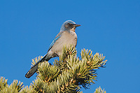 Western Scrub-Jay,  Aphelocoma californica, adult perched on pine tree, Garden of The Gods National Landmark, Colorado Springs, Colorado, USA, February 2006
