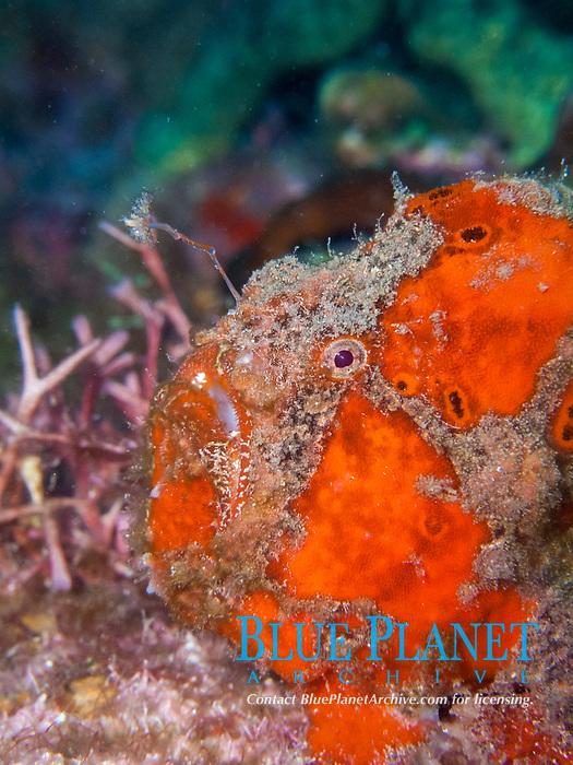 longlure frogfish, Antennarius multiocellatus, Dominica, Caribbean Sea, Atlantic Ocean