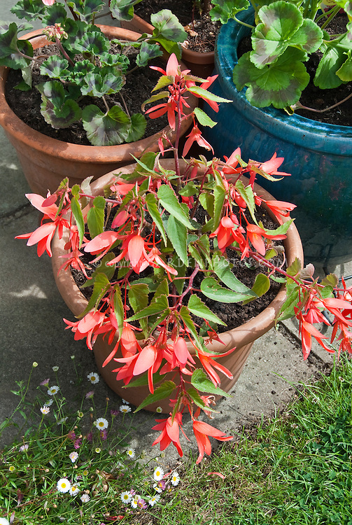 Salmon flowers of annual plant Begonia Million Kisses Romance in pot container garden on patio
