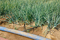 Drip irrigation watering oinions - Norfolk, July