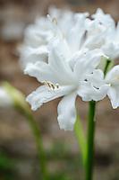 Nerine 'Blanchfleur'