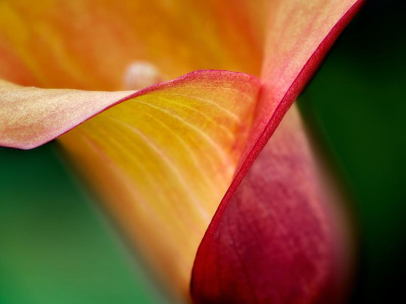 Close up of Calla Lily. Oregon