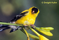SW05-001z  American Goldfinch - on day lily buds - Carduelis tristis
