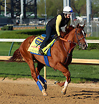 April 23, 2014 Chitu and exercise rider Dana Gibbs Barnes gallop at Churchill Downs.  He is trained by Bob Baffert for owner Tanma Corporation. He won the Sunland Derby.