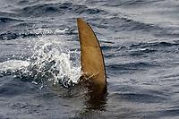 Great Hammerhead, Sphyrna mokarran, Bahamas, Caribbean, Atlantic Ocean