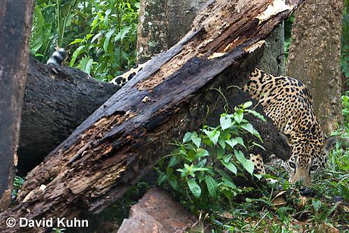 0616-1101  Camouflaged Goldman's Jaguar, Belize, Panthera onca goldmani  © David Kuhn/Dwight Kuhn Photography