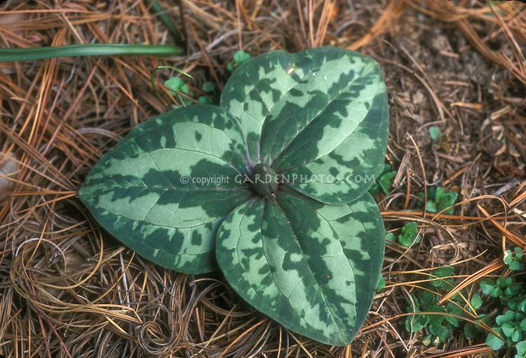 Trillium decumbens foliage, in bud
