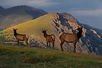 Elk along Trail Ridge road at sunset, Rocky Mountain National Park, Colorado.<br />