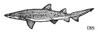 sand tiger shark, Carcharias taurus, lateral view, pen and ink illustration.