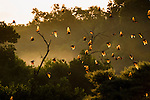 Straw-coloured Fruit Bats (Eidolon helvum) returning to their daytime roost at dawn (sunrise). Kasanka National Park, Zambia.