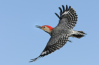 The Red-bellied Woodpecker has a bold black-and-white striped back, with flashing red cap and nape. Look for white patches near the wingtips as this bird flies. Published in National Wildlife April/May 2013