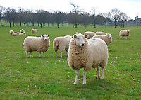 In-lamb Lleyn hoggs in parkland, Cumbria.