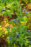 """Blueberry Heaven""<br />